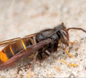 ous êtes plusieurs Vernonnais à nous avoir fait remonter la présence de frelons asiatiques (ou frelons à pattes jaunes) sur le territoire. Cette présence est avérée et il s'agit d'un insecte dangereux et nuisible.