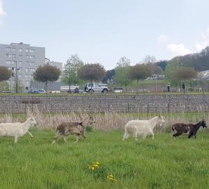 Afin de préserver leur santé, il est demandé de ne pas nourrir les chèvres.