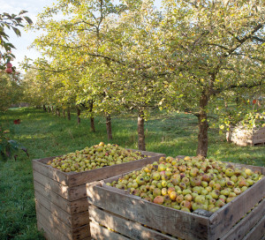 Cider apples in box under apple trees in Normandy